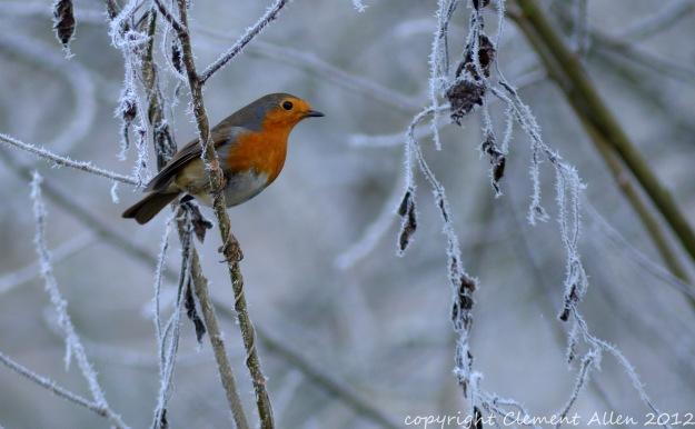 Robin on frosty branch